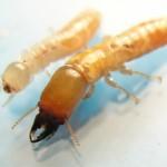 termitas y carcoma galicia