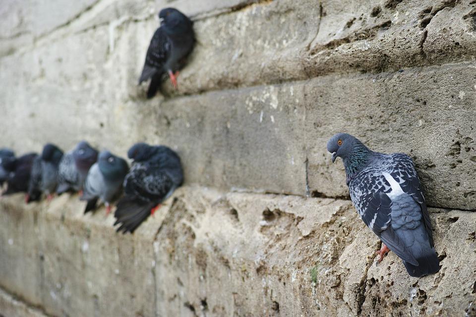 Control de aves en Ourense